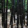 เมล็ดไผ่ดำ Black bamboo พันธุ์ Bambusa lako / 10 เมล็ด