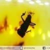 มีแมลงภายใน-โคปอลธรรมชาติ (COPAL) อำพันอายุน้อยธรรมชาติ จากโคลัมเบีย Colombia Amber (20.5 กะรัต)
