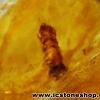 ▽โคปอลธรรมชาติ (COPAL) อำพันอายุน้อยธรรมชาติมีแมลงภายในจากรัสเซีย Amber (24ct.)