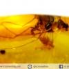 อำพันโดมินิกัน กลุ่มแมลงภายใน Dominican Blue Amber ของแท้(11.6ct)