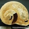▽หอยโบราณ เชื่อหอยศักดิ์สิทธิ์ในถ้ำลาว อายุกว่า 1000 ปี