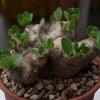 เมล็ด Pachypodium Brevicaule ชุดละ 10 เมล็ด