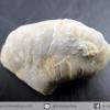 ฟอสซิลหอยนางรม Oysters จากเท็กซัส สหรัฐอเมริกา(2.9g)