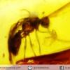 อำพันโดมินิกัน มีแมลงภายใน Dominican Blue Amber ของแท้(11.1ct)