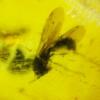 ▽อำพันโดมินิกัน กลุ่มแมลงภายใน Dominican Blue Amber ของแท้(131ct)