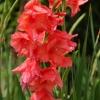 แกลดิโอลัส Gladiolus สีแดง / 1 หัว