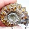 แอมโมไนท์เขาแพะ (Goat Horn Ammonite) จากมาดากัสการ์ (54g)