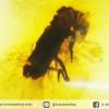 มีแมลงภายใน-โคปอลธรรมชาติ (COPAL) อำพันอายุน้อยธรรมชาติ จากโคลัมเบีย Colombia Amber(16 กะรัต)