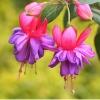ตุ้มหูนางฟ้า ต่างหูนางฟ้า โคมญี่ปุ่น สีม่วงชมพู Fuchsia / 20 เมล็ด
