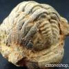▽ฟอสซิลไทรโลไบต์(Trilobite) (13g)