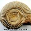 ฟอสซิล (Ammonite) โมร็อกโค (100g)