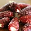 ข้าวโพดสตอเบอรี่ Strawberry PopCorn / 15 เมล็ด