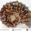 แอมโมไนท์เขาแพะ (Goat Horn Ammonite) จากมาดากัสการ์ (65g)