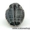 ▽ฟอสซิลไทรโลไบต์(Trilobite) (0.8g)