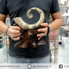 ฟอสซิล แอมโมไนต์งวงช้างชนิดหายากจากมาดากัสการ์ (933g)