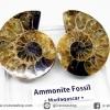 ฟอสซิล แอมโมไนต์ ผ่าครึ่งคู่ พร้อมฐานกระจก (Ammonite)(17g)