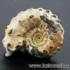 ▽Pyrite Ammonite จากรัสเซีย(2.6g)