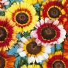 เบญจมาศ Chry sanyhemum / 200 เมล็ด