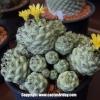 Ortegocactus macdougallii แคคตัสสีฟ้าาา