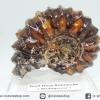 แอมโมไนท์เขาแพะ (Goat Horn Ammonite) จากมาดากัสการ์ (66g)