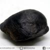 หอยโบราณเป็นหิน (คตหอย)จากประเทศลาว (21g)