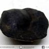 หอยโบราณเป็นหิน (คตหอย)จากประเทศลาว (12g)
