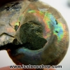 ▽ฟอสซิล แอมโมไนต์เหลือบรุ้ง(Ammonite) ผ่าครึิ่ง(7g)