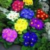 พริมูล่า คละสี Primula Mix / 10 เมล็ด