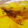 ▽อำพันโดมินิกัน กลุ่มแมลงภายใน Dominican Blue Amber ของแท้(12.29ct)