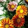 กาซาเนีย ซันชายน์ มิ๊กซ์ (พระจันทร์ทรงกลด) Gazania Sunshine Mix / 25 เมล็ด