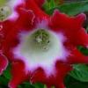 เมล็ดดอกกล็อกซีเนีย สีแดง-ขาว #12 (ดอกกุหลาบนางฟ้า) Gloxinia Red White / 30 เมล็ด