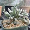 เมล็ด Avonia vespertina ชุดละ 25 เมล็ด