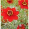 ดอกไม้ไหว เรดเบบี้ / 300 เมล็ด