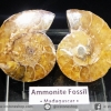 ฟอสซิล แอมโมไนต์ ผ่าครึ่งคู่ พร้อมฐานกระจก (Ammonite)(22g)