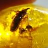 อำพันโดมินิกัน กลุ่มแมลงภายใน Dominican Blue Amber ของแท้(9.19ct)