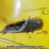 อำพันโดมินิกัน มีแมลงภายใน Dominican Blue Amber ของแท้(4.68ct)