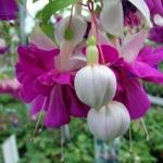 ตุ้มหูนางฟ้า ต่างหูนางฟ้า โคมญี่ปุ่น มิ๊ก Fuchsia / 20 เมล็ด