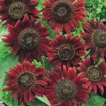 ทานตะวันสีแดง Helianthus Sunflower Jerusalem artichoke Sunroot Red / 30 เมล็ด