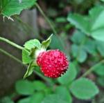 สตรอเบอรี่ป่า Mock Strawberry / 30เมล็ด