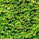 ตีนตุ๊กแกฝรั่ง หรือ บอสตันไอวี่ English Ivy หรือ Boston ivy / 10 เมล็ด