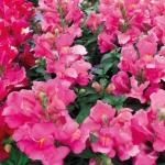 ดอกลิ้นมังกร ฟลอรัล ชาวเวอร์ คอรัล ไบคัลเลอร์ มิ๊กซ์ antirrhinum floral showersMix / 20 เมล็ด