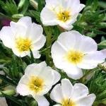 อีฟนิ่งพริมโรส สีขาว Evening Primrose Showy White/ 50 เมล็ด