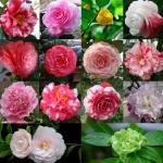 คามิเลีย มิ๊กซ์ camellia Mix / 2 เมล็ด