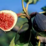 มะเดื่อฝรั่ง ม่วง fig purple patlican / 10 เมล็ด