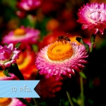 ดอกกระดาษ (ซองใหญ่) คละสี Straw flower / 10 กรัม