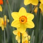 ดอกแดฟโฟดิล Daffodil / 10 เมล็ด