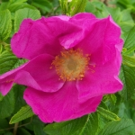 กุหลาบญี่ปุ่น rosa rugosa / เมล็ด