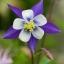 ดอกโคลัมไบน์ Columbine Flower / 25 เมล็ด thumbnail 1