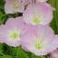 อีฟนิ่งพริมโรส สีชมพู Evening Primrose Showy Pink / 50 เมล็ด thumbnail 5