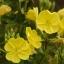 อีฟนิ่งพริมโรส สีเหลือง Evening Primrose Showy Yellowv / 50 เมล็ด thumbnail 1